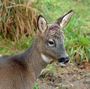 Roe buck - cast