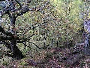 Autumn-woodland-with-ancient-oak