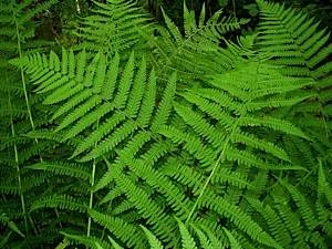 Common-male-fern-compared-with-lady-fern-1