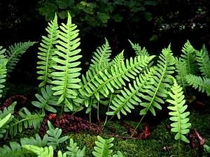 Common-polypody-Polypodium-vulgare-ss
