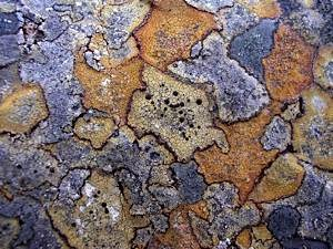 Crustose-mountain-lichens-3