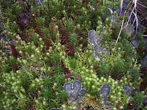 Dog-lichen-Peltigera-membranacea-with-mosses-Polytrichum-commune-and-Rhytidiadelphus-squarrosus