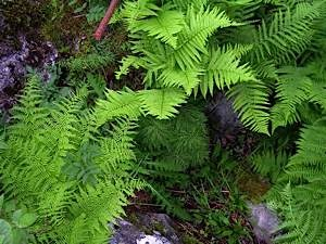 Ferns-of-damp-woodland-with-wood-horsetail