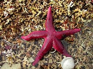 Low-shore-starfish-Henricia-militaris