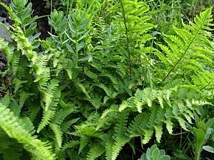 Mountain-male-fern-Dryopteris-oreades