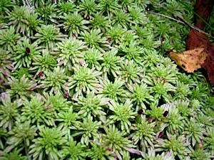 Sphagnum-sp-please-tell-us-if-you-know-its-name