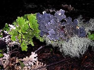 Tree-bark-lichens-on-fallen-branch