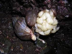 Whelk-Buccinum-undatum-egg-laying