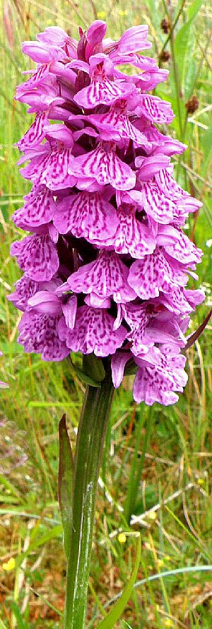 Dactylorhiza x formosa at The Plock of Kyle