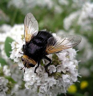 Hover fly: bumble bee mimic